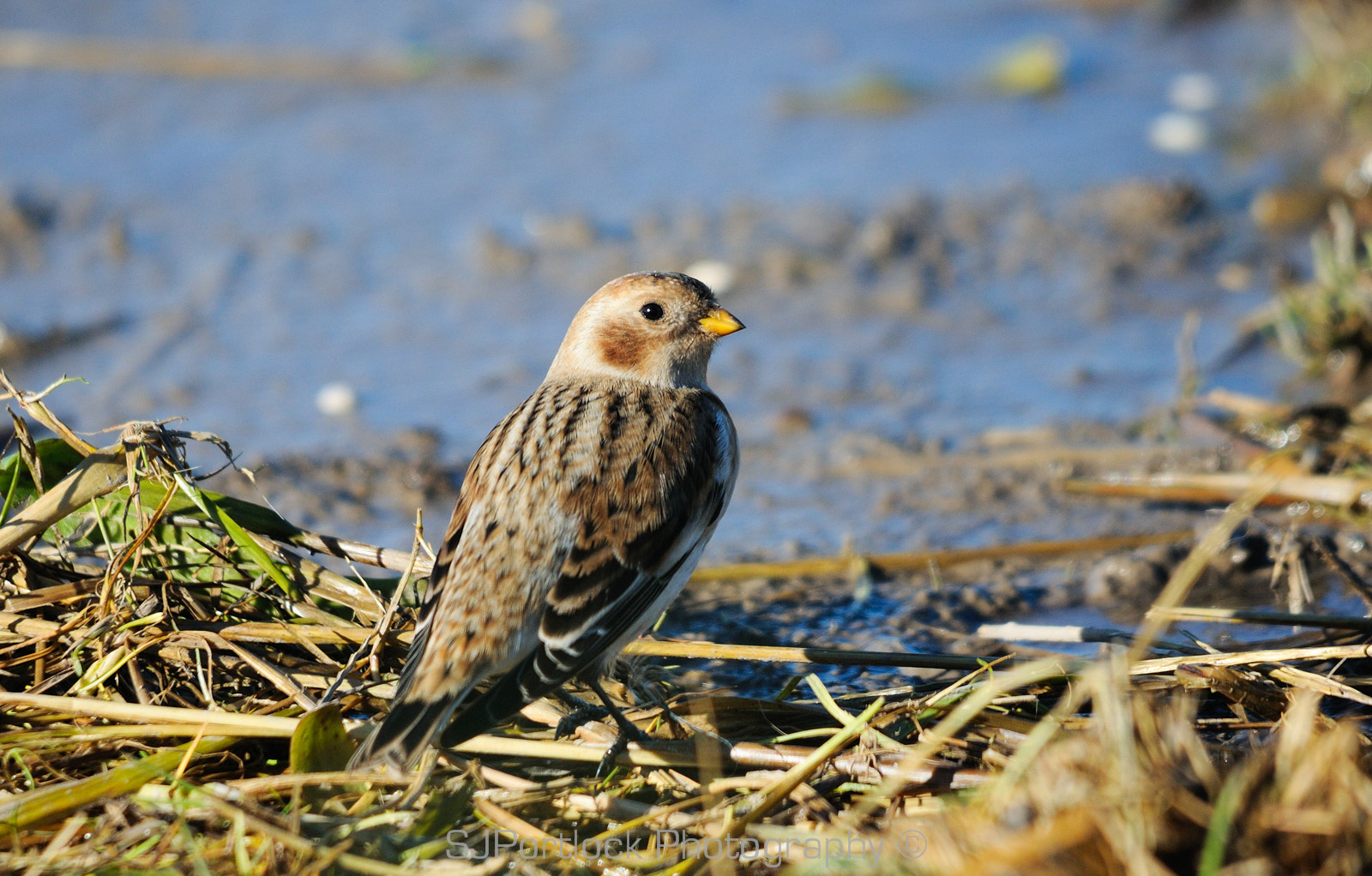 Photograph Snow Bunting  by Stephen Portlock on 500px