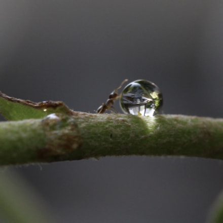 Ant and drop, Canon EOS KISS X7, Canon EF-S 60mm f/2.8 Macro USM