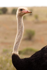 Male Ostrich looking over his shoulder
