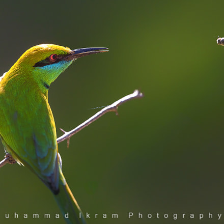 Green Bee Eater, Canon EOS 5DS, Canon EF 400mm f/4 DO IS