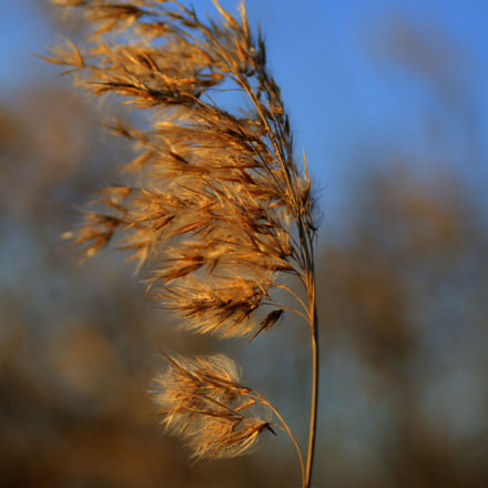 Evening. Reed in the wind.
