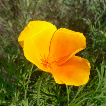 Kalifornischer Mohn (Eschscholzia californica), Panasonic DMC-FX7