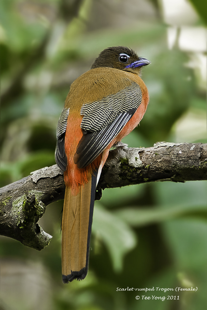 Photograph Scarlet-rumped Trogon (Female) by TeeYong on 500px