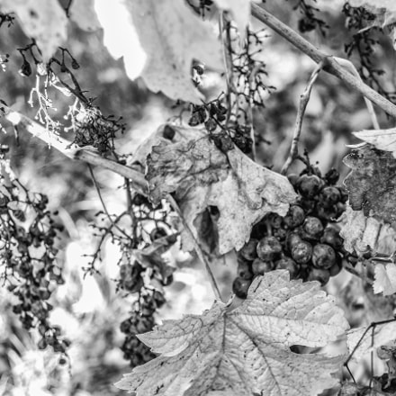 Grapes, Canon EOS 700D, Sigma 18-125mm f/3.5-5.6 DC IF ASP