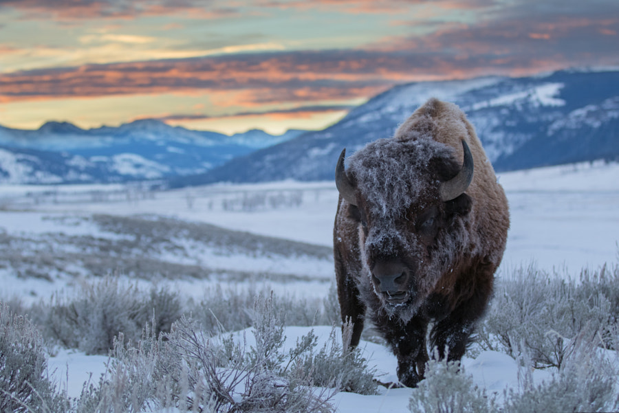Bison Dawn by HE Atala on 500px.com