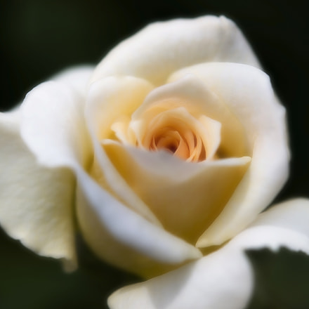 White Rose, Canon EOS 5D MARK III, Tamron SP AF 180mm f/3.5 Di Macro