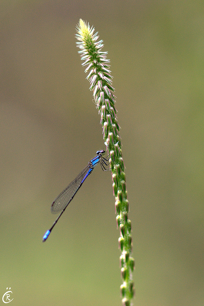 Photograph Blue dragonfly by Raul Calvo on 500px