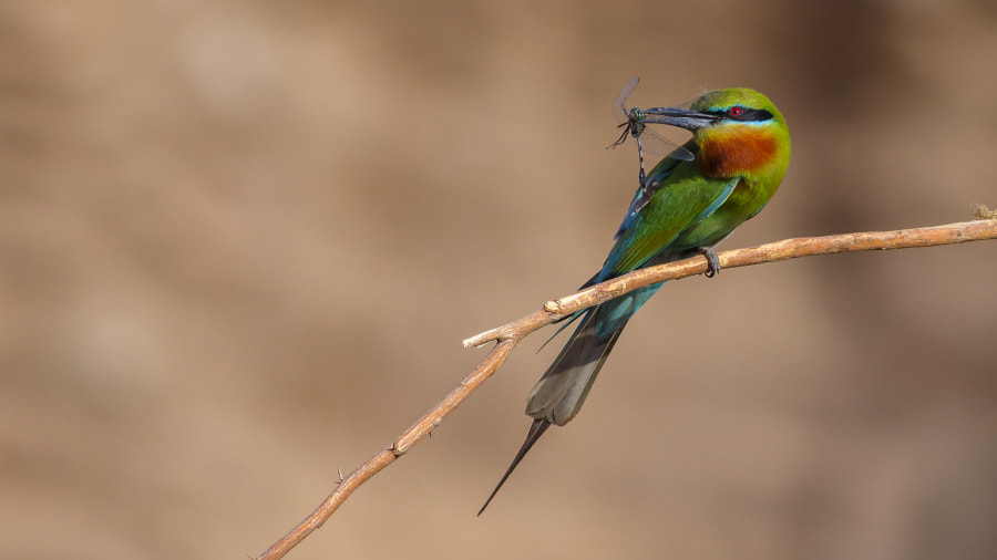 Green Bee Eater by Farhan Younus on 500px.com