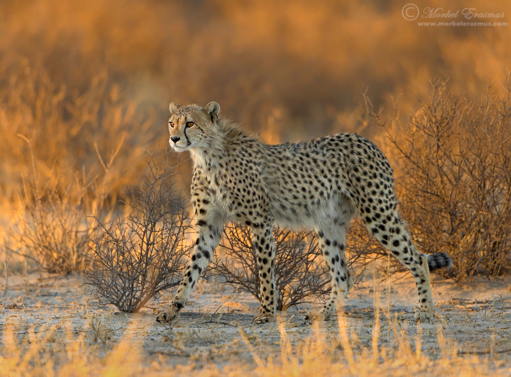 Photograph Cheetah in Gold by Morkel Erasmus on 500px