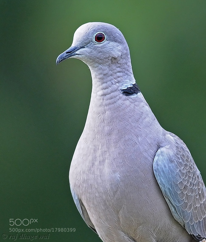 Photograph EURASIAN COLLARED DOVE by raj dhage on 500px