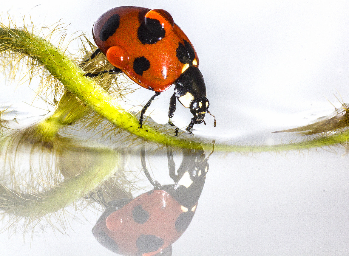 Photograph Ladybug and Water reflecting by OKAWA โอ๋กะหว้า. somchai on 500px