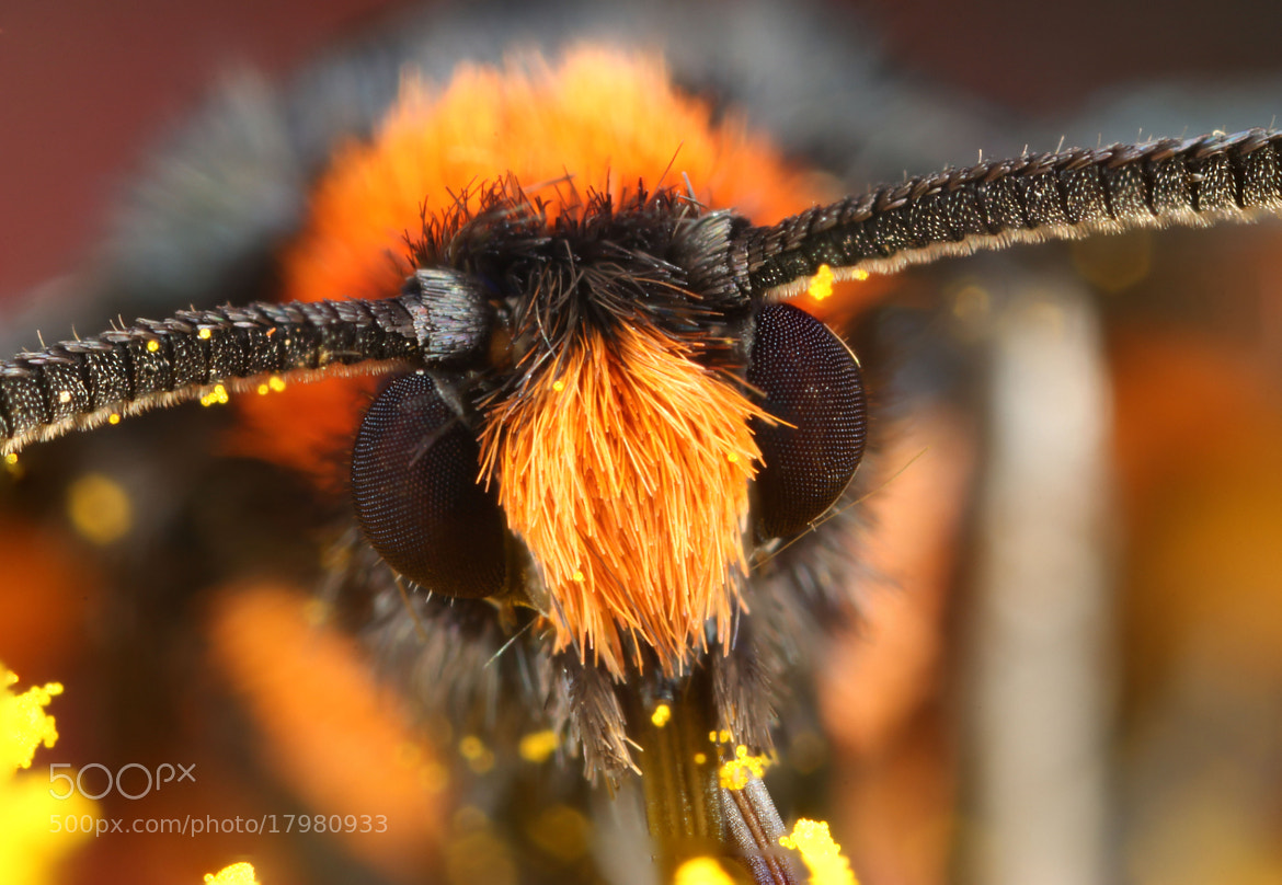 Photograph Orange Shoulder Wasp-Moth by Hadi Mirza on 500px