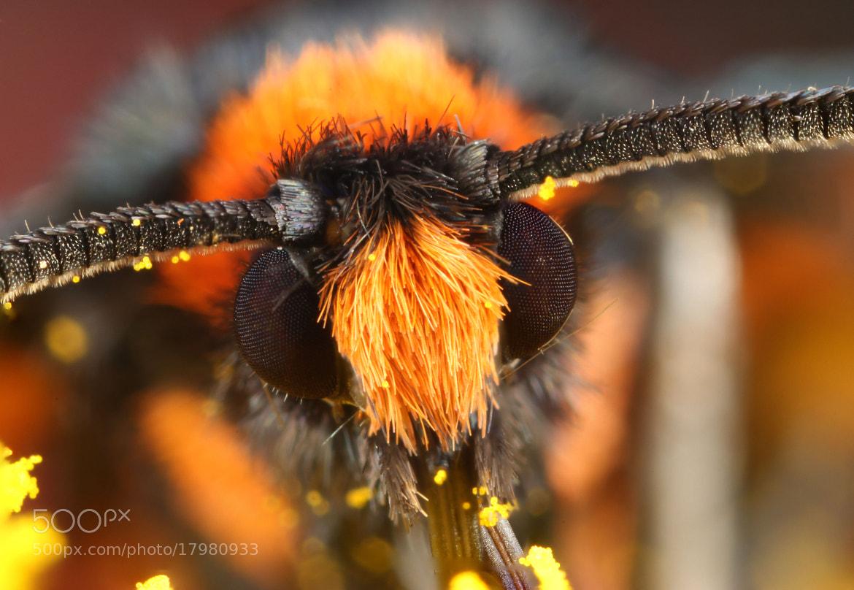 Photograph Orange Shoulder Wasp-Moth by Hadi Mirza on 500px