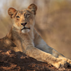 Check out Mario's very similar image of the same Jacaranda Pride lioness: