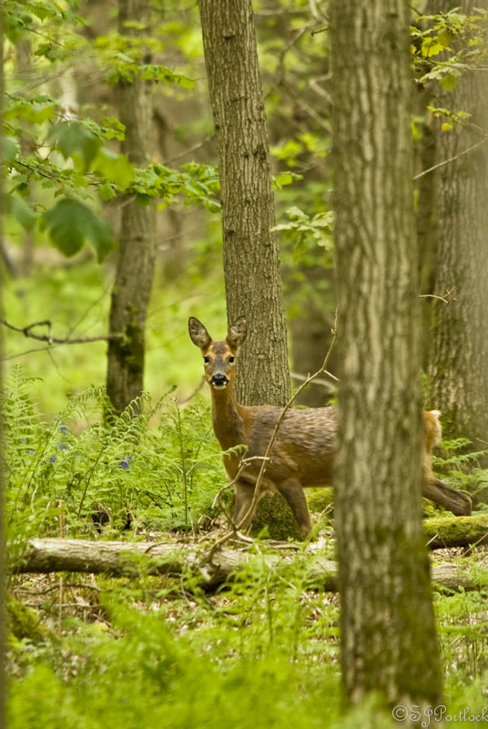 Photograph Roe Deer  by Stephen Portlock on 500px