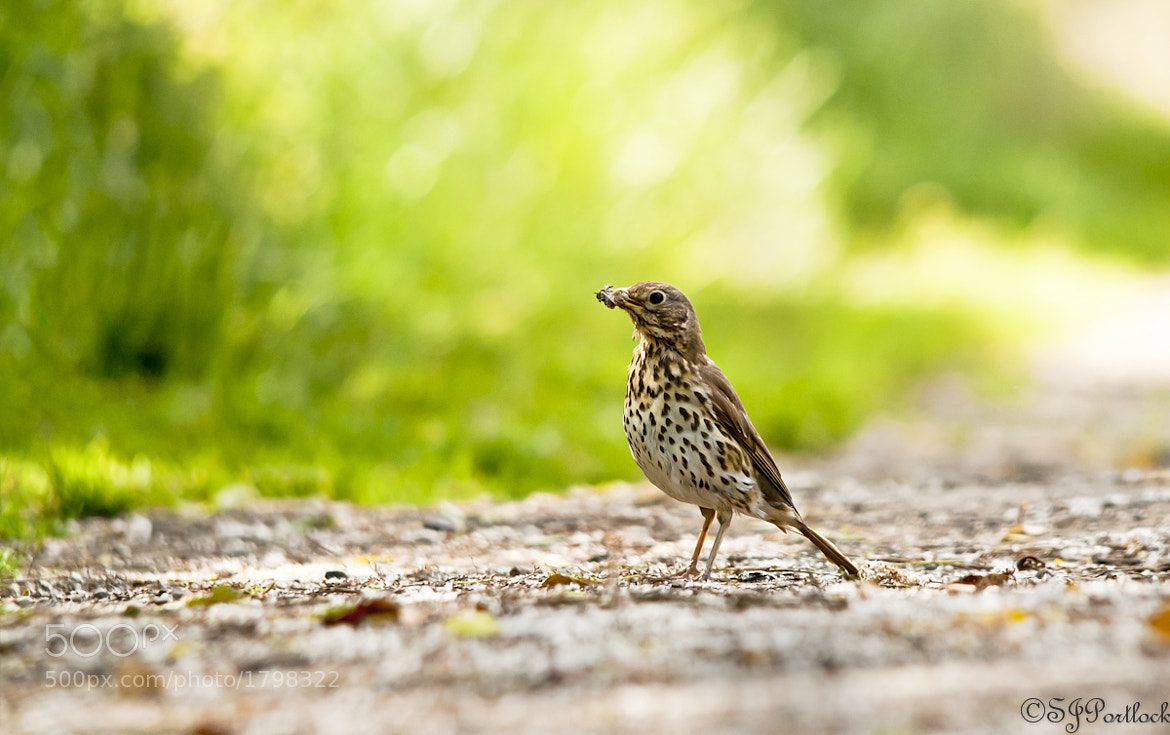 Photograph Song Thrush  by Stephen Portlock on 500px