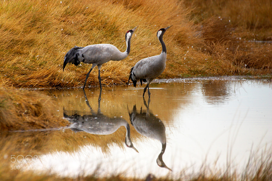 Photograph Cranes by Andrés López on 500px