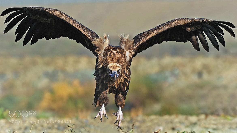Photograph Kara akbaba / Cinereous vulture / Aegypius monachus by Murat  Demirtas on 500px