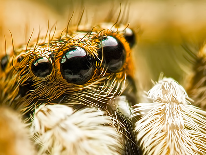 Photograph Tiger Spider (reworked) by Kayman Studio on 500px