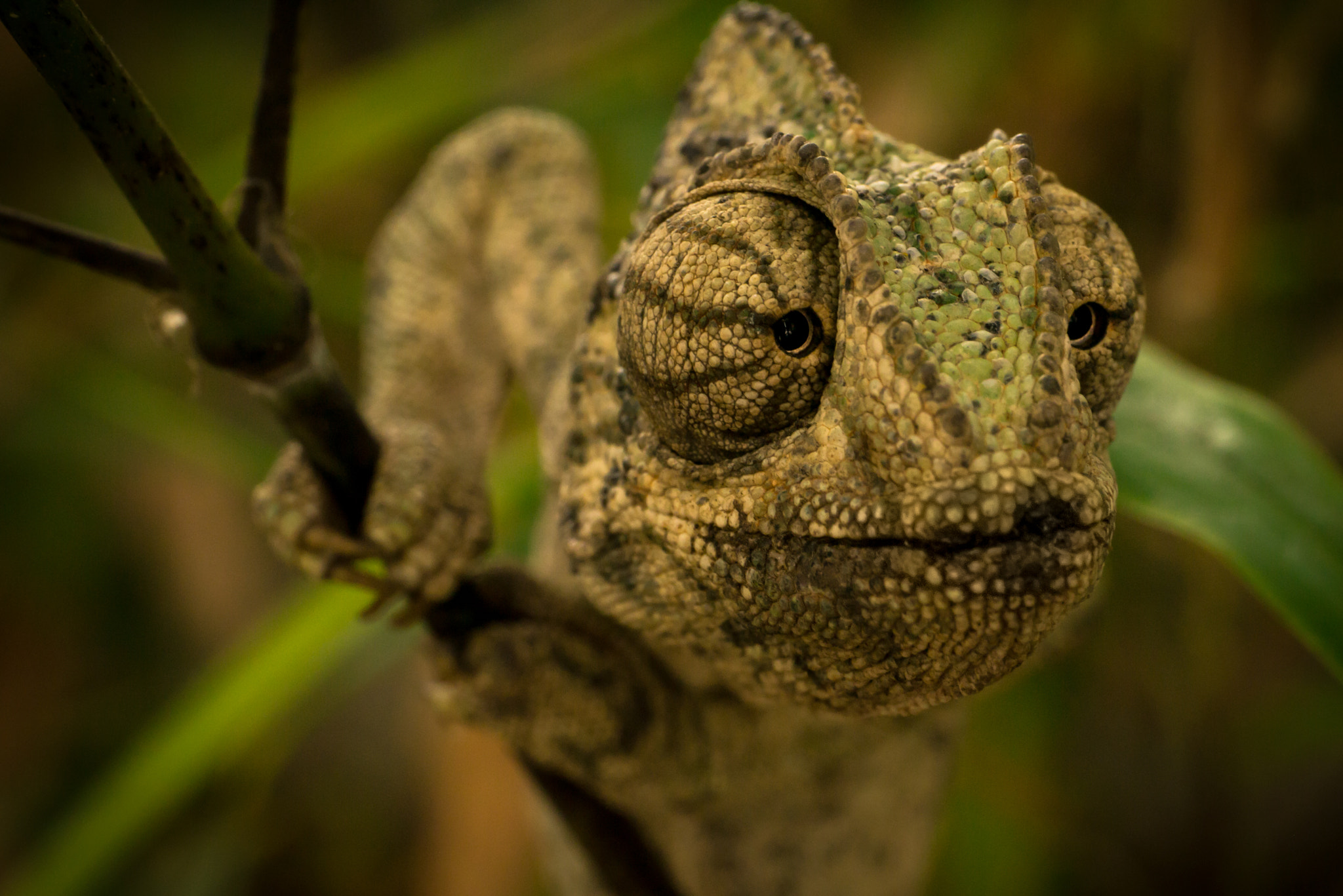 Photograph Chameleon - 3 by Amine Fassi on 500px