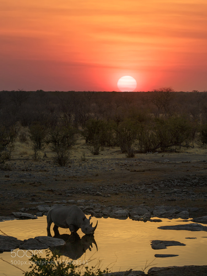 Black rhino under the setting sun