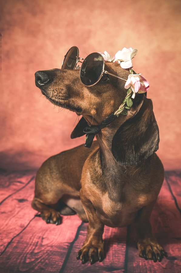 Dachshund dog with sunglasses and flowers on her head by Eduardo Lopez on 500px.com