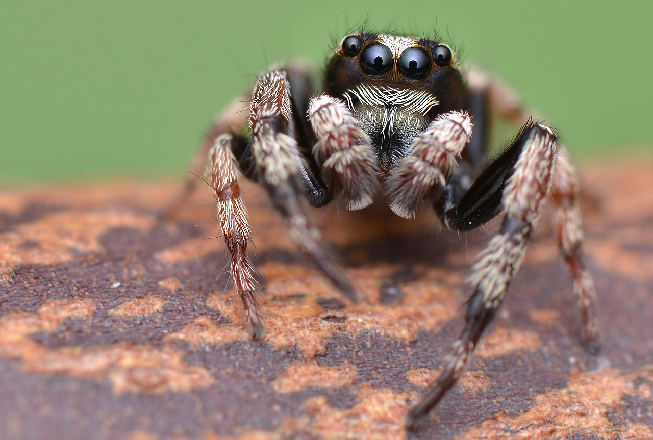 Photograph Jumpig Spider by Simon Shim on 500px
