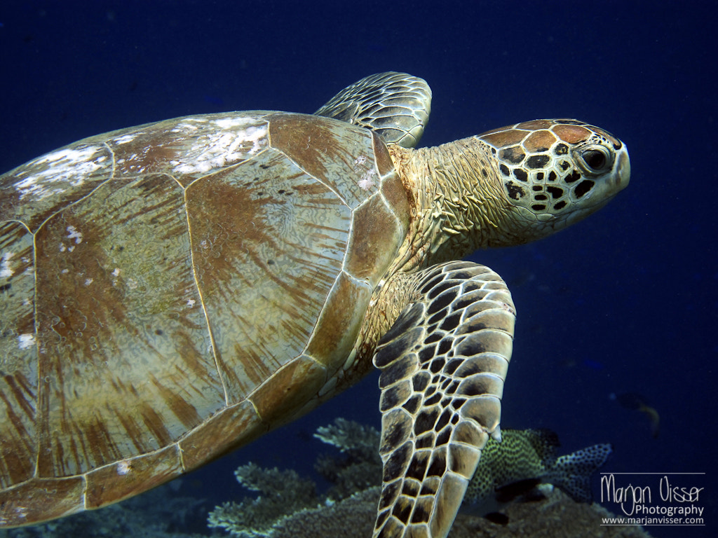 Photograph Turtle by Marjan  Visser on 500px