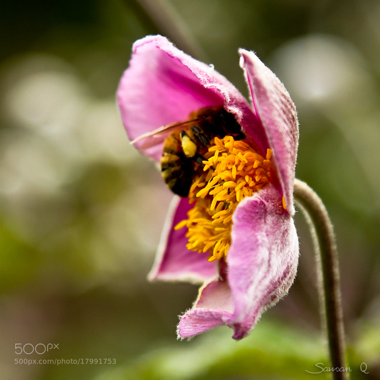 Photograph Busy Bee .. by Sawsan Mohammed on 500px