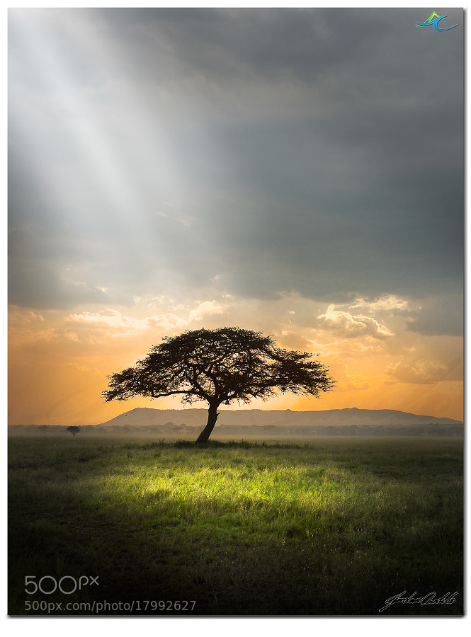 This shot of the iconic Acacia tortillas or the Umbrella Thorn Acacia Tree standing alone in the Serengeti is a shot I have wanted for a very long time. So while sifting through countless photos and finding this particular image I knew exactly what needed to be done :)