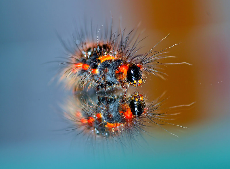 Photograph __\\\(O.O)///__ CATERPILLAR..II by Bu Balus on 500px