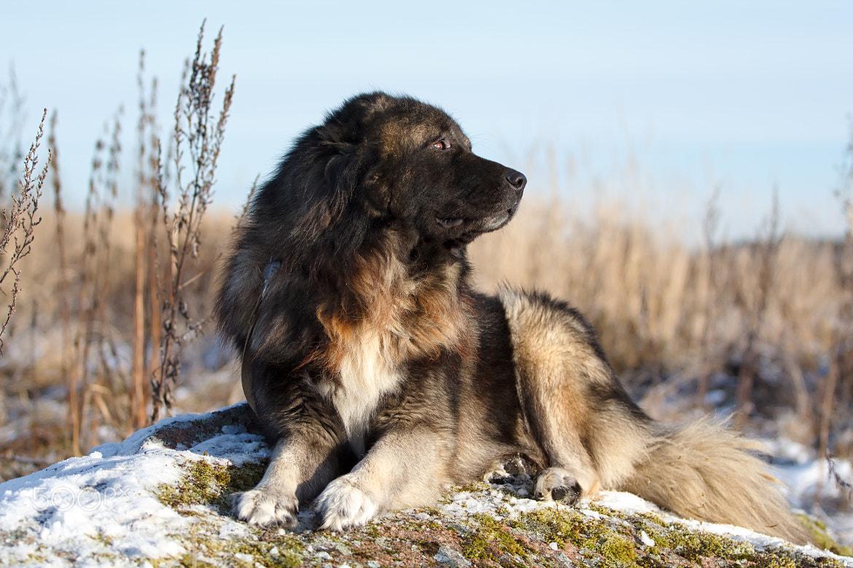 Photograph caucasian shepherd dog by nika petrova on 500px