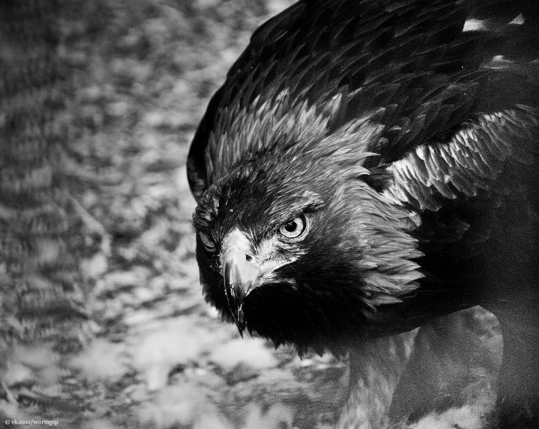 Photograph Eagle by A regular guy with camera. on 500px