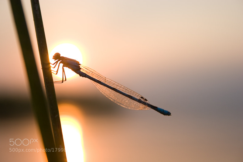 Photograph dragonfly asleep by Alexei Nedozharov on 500px