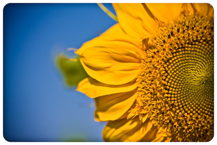 Photograph sunflower by Alexei Nedozharov on 500px