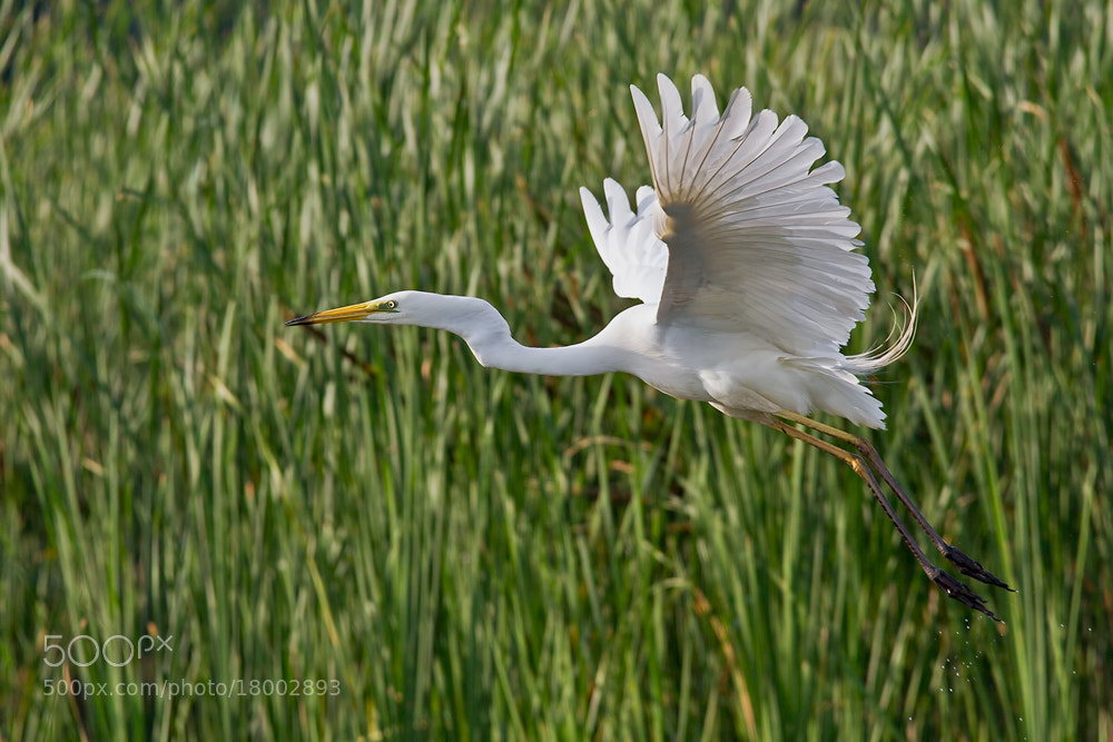 Photograph Great Egret flight of by Peter Talos on 500px