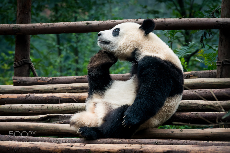 Photograph The Great Panda Thinker by Evgeny Tchebotarev on 500px
