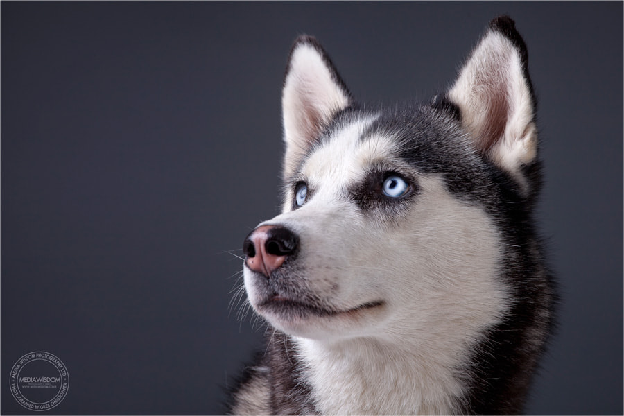 Photograph Elektra the Husky by G Christopher on 500px