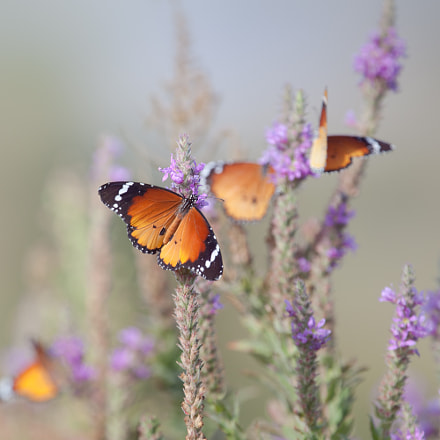 Butterflies and Flowers ..., Canon EOS 5D MARK II, Canon EF 400mm f/4 DO IS