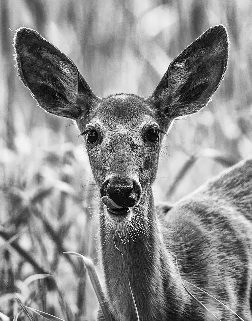 Photograph Female Whitetail Deer by Wendy Kennedy on 500px