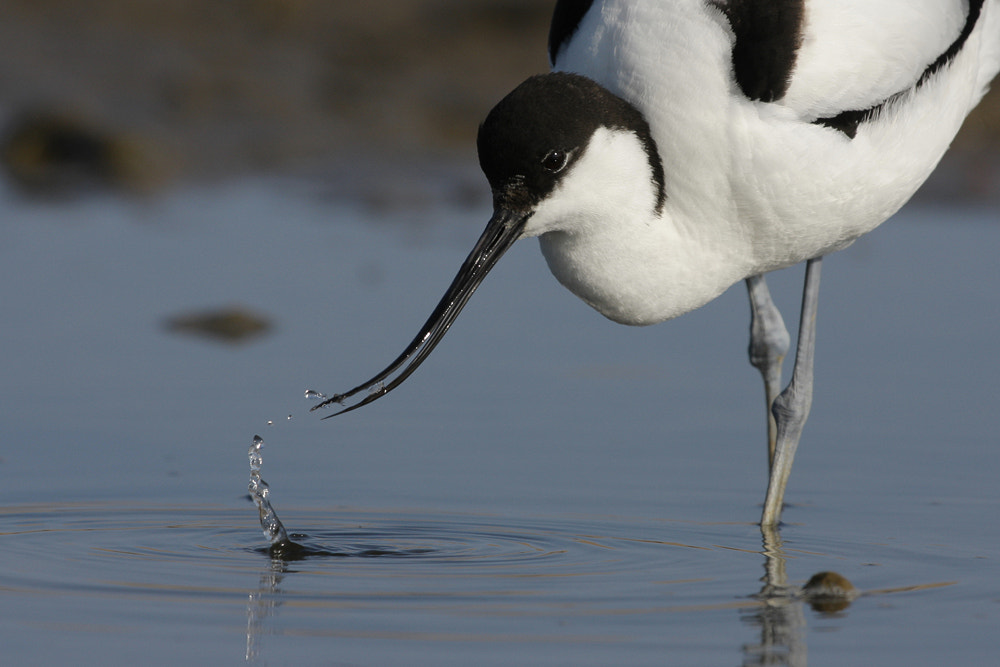 Photograph Avocet (recurvirostra avosetta) by Neil Smith on 500px