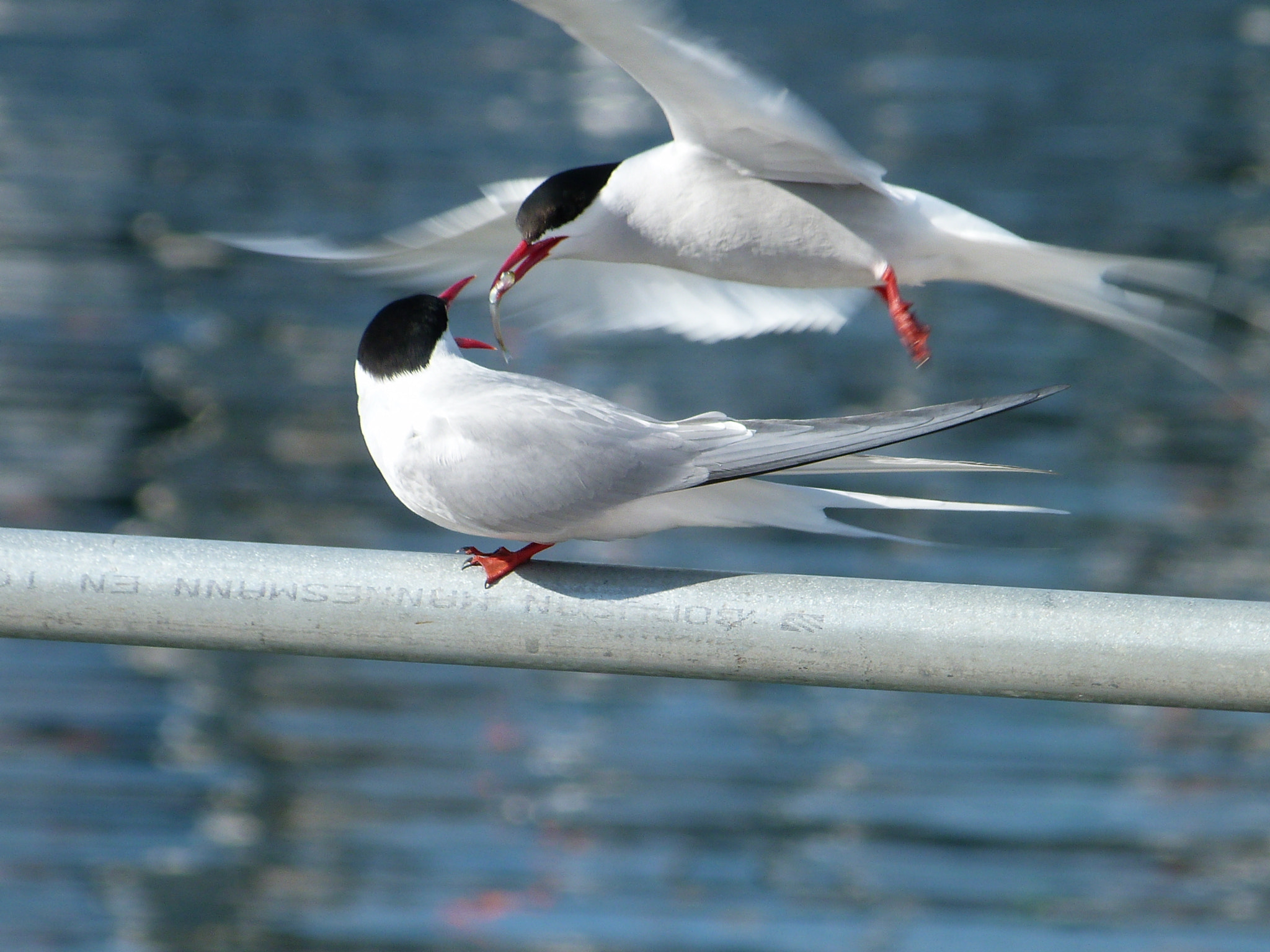Photograph Arctic Tern Courtship Ritual by Rachel Buchan on 500px