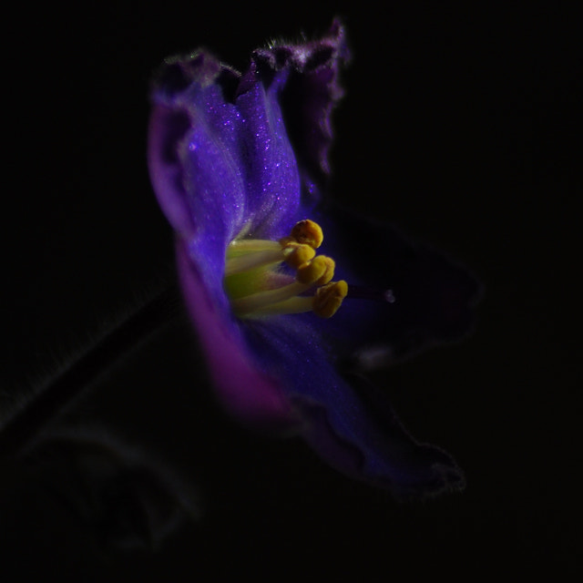 Photograph African Violet by Anastasia Hill on 500px
