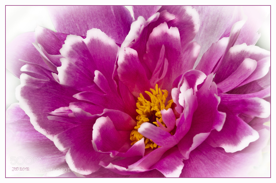 Photograph Peony Framed by Jan Westman on 500px