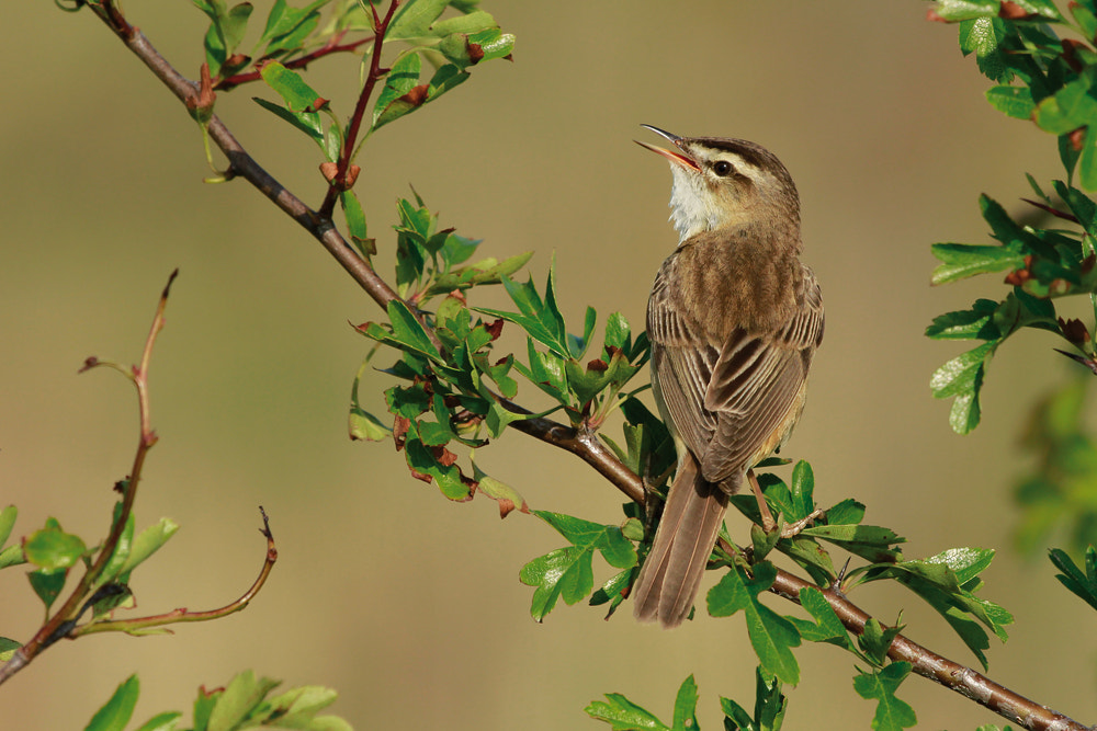 Photograph Sedge Warbler (acrocephalus schoenobaenus) by Neil Smith on 500px