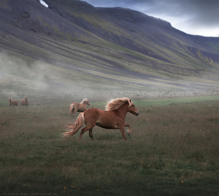 ..to be free as an Icelandic horse.. by Elena Shumilova on 500px.com