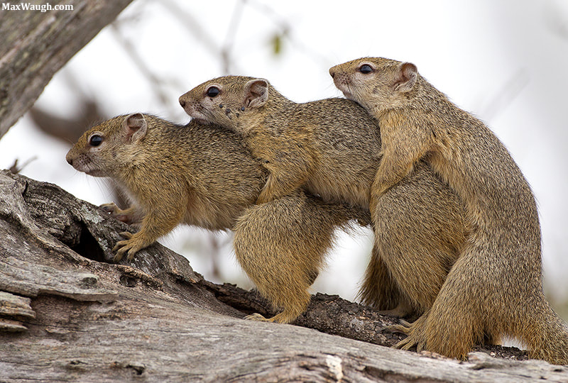 Photograph Smith's Bush Squirrels by Max Waugh on 500px