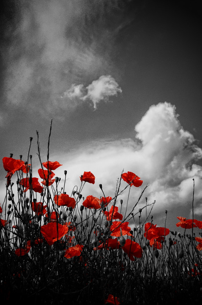 Photograph red poppies by Hans Sendker on 500px