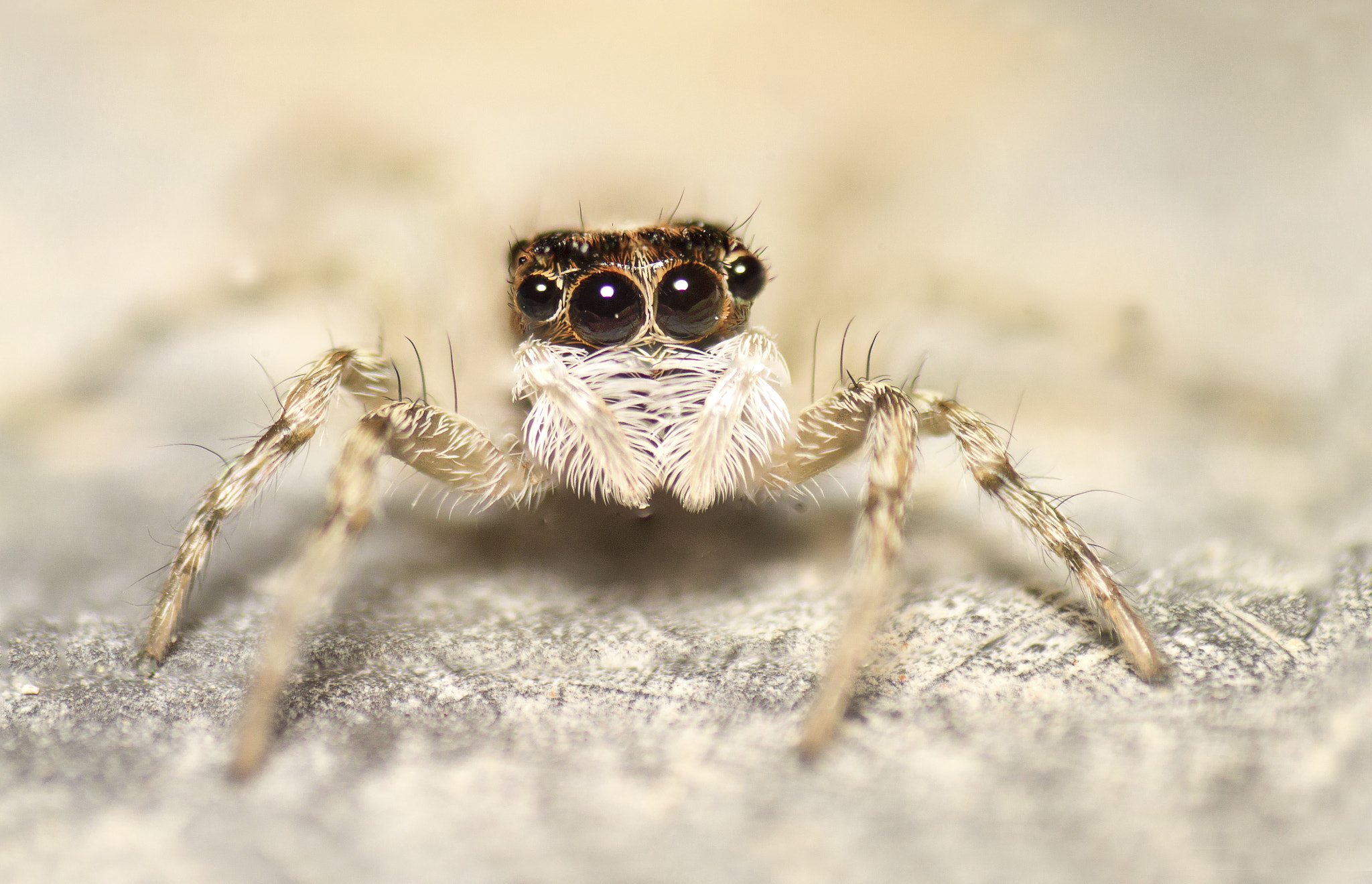 Photograph serious jumpy spider by Can Dogan on 500px