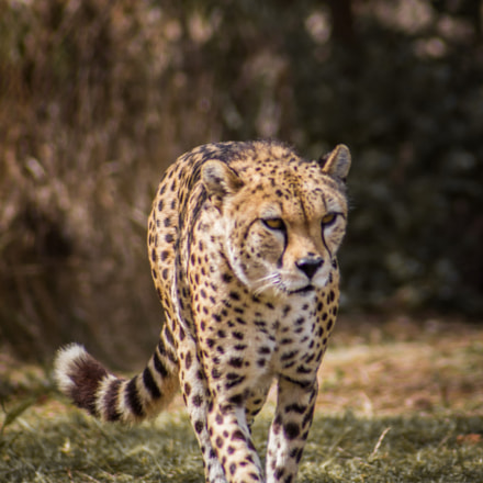 The cheetah, Canon EOS 1200D, Canon EF 70-210mm f/3.5-4.5 USM